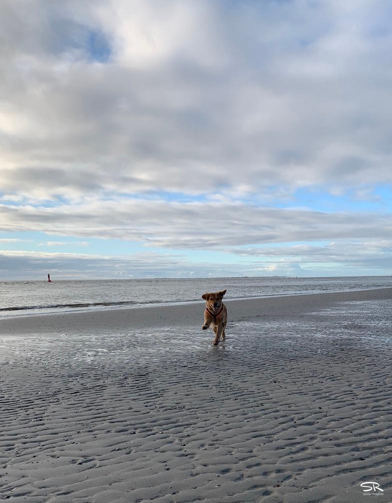 Madsen hat Spaß am Strand von Norderney. Die Ohren fliegen hoch während er der Kamera entgegenläuft.  12-2019